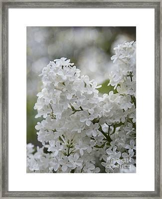 White Lilacs In Bloom Framed Print