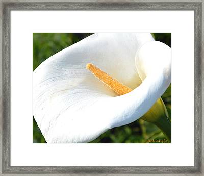 White Lilly Framed Print by Barbara Snyder