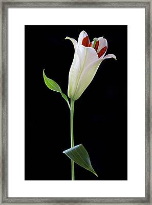 White Lily Bud Framed Print