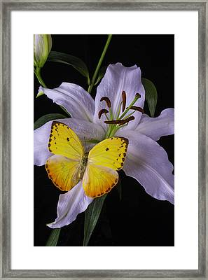 White Lily With Yellow Butterfly Framed Print by Garry Gay