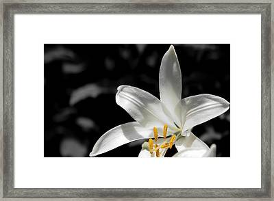 White Lily With Yellow Stamens Against Dark Background Framed Print