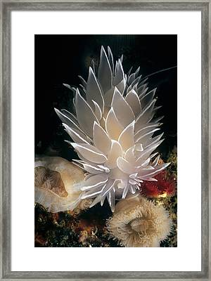 White-lined Dirona Nudibranch Framed Print by Jeff Rotman