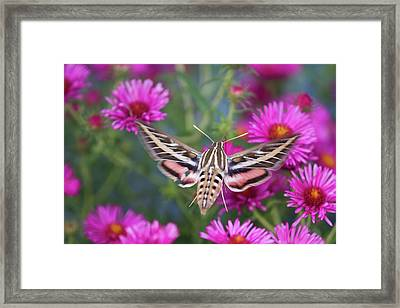 White-lined Sphinx Moth (hyles Lineata Framed Print by Richard and Susan Day