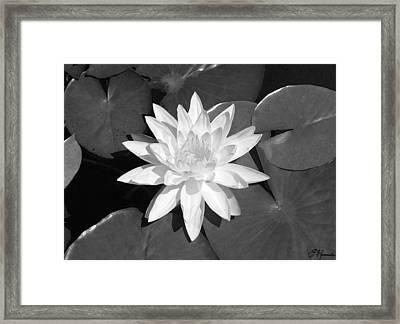White Lotus 2 Framed Print