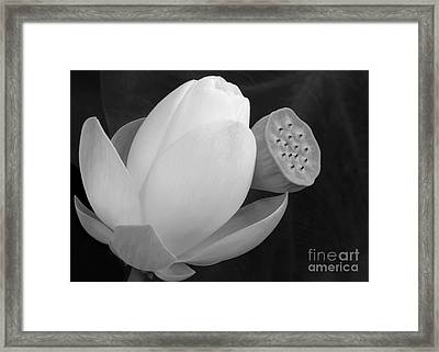 White Lotus Before And After Framed Print by Sabrina L Ryan