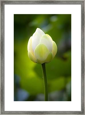 White Lotus Bud Framed Print