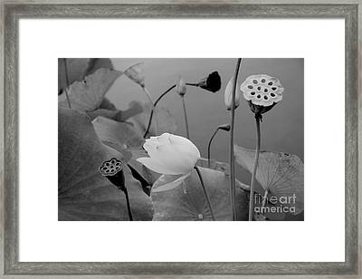 White Lotus Flowers In Balboa Park San Diego Framed Print by Julia Hiebaum