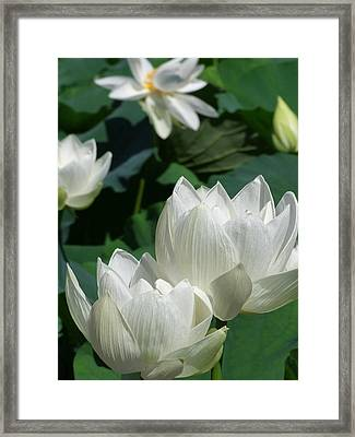 Framed Print featuring the photograph White Lotus by Larry Knipfing