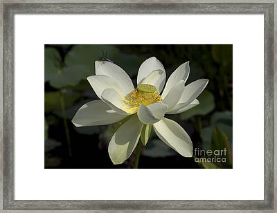 White Lotus Framed Print by Meg Rousher