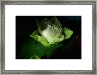 White Lotus Unfolding Framed Print