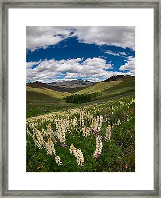 White Lupine Framed Print by Leland D Howard