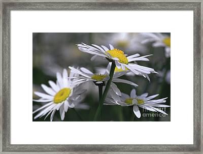 White Marguerite Framed Print