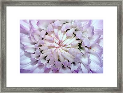 White Mauve Miniature Dahlia - Close Up Framed Print