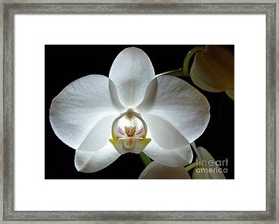 White Moon Orchid Framed Print