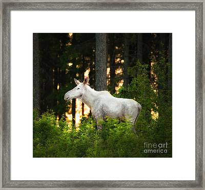 Framed Print featuring the photograph White Moose In Sunset by Rose-Maries Pictures