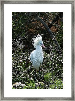 White Morph Of Reddish Egret Framed Print by Gregory G. Dimijian