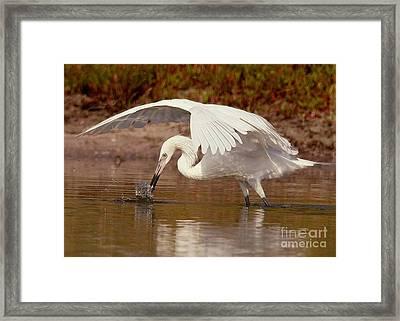 White Morph Of The Reddish Egret Framed Print by Myrna Bradshaw