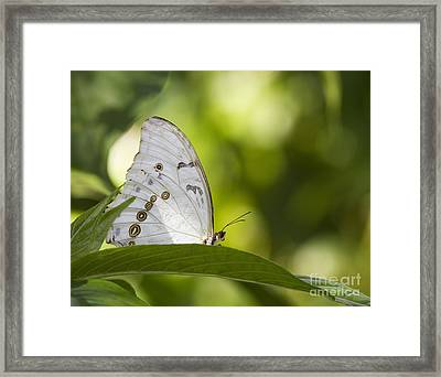 White Morpho   Framed Print by Anne Rodkin
