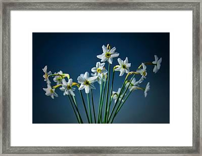 White Narcissus On A Dark Blue Background Framed Print