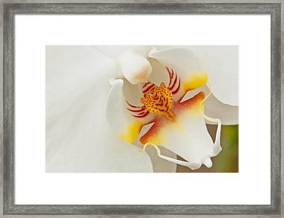 White Orchid 2 Framed Print