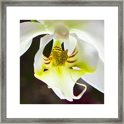 White Orchid Close 2 Framed Print by Timothy Blair