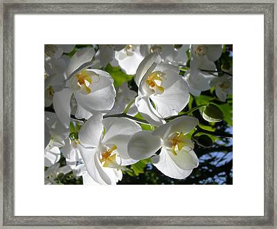 White Orchid In Light Framed Print