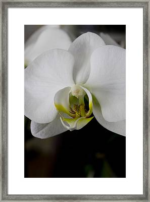 White Orchid Framed Print by Ivete Basso Photography