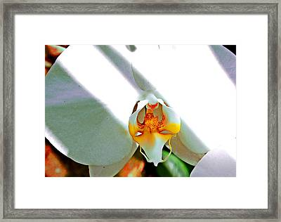 White Orchid Framed Print by Jeanette Arango