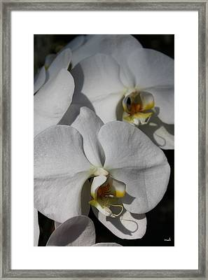 White Orchid Framed Print by Mark Steven Burhart