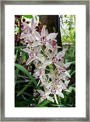 White Orchids 1 Framed Print by Timothy Blair