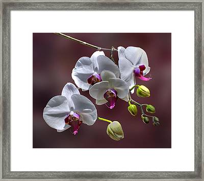 White Orchids Framed Print by Bob Mulligan