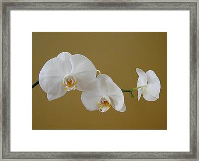 White Orchid's Framed Print by Cindy Croal