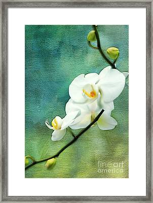 White Orchids Framed Print by Darren Fisher