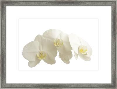 White Orchids On White Framed Print