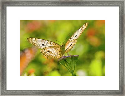 White Peacock (anartia Jatrophae Framed Print by Larry Ditto