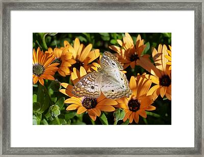 Framed Print featuring the photograph White Peacock Butterfly by Cindy McDaniel