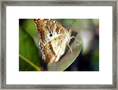 Framed Print featuring the photograph White Peacock Butterfly by Greg Allore