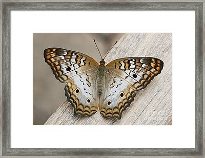 White Peacock Butterfly Framed Print by Judy Whitton