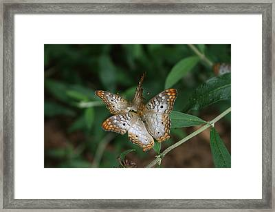 White Peacock Butterflies Framed Print by Cathy Harper