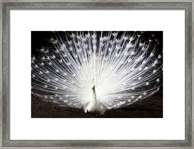 White Peacock Framed Print by Daniel Precht