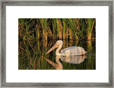 White Pelican Cruising Framed Print by Maresa Pryor