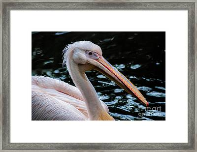 White Pelican Framed Print by Hannes Cmarits