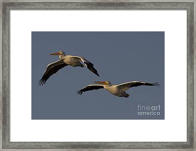 White Pelican Photograph Framed Print by Meg Rousher