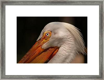 White Pelican Portrait Framed Print by Lorenzo Cassina