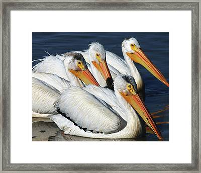 White Pelican Quartet, Summer Lake Framed Print
