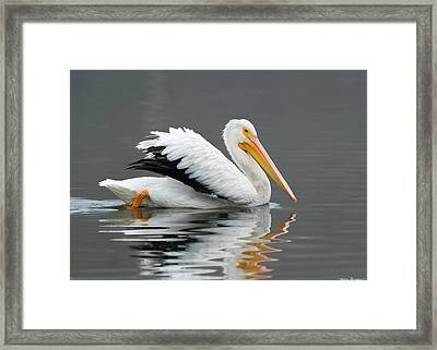 White Pelican Swimming Framed Print by Avian Resources