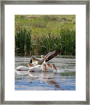 White Pelicans At Cherry River Framed Print