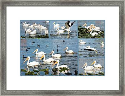 White Pelicans Collage Framed Print