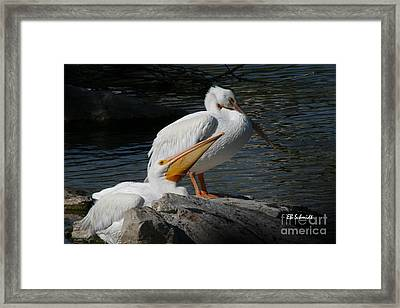 White Pelicans Framed Print