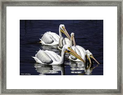 White Pelicans Fishing Framed Print